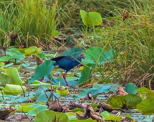 Grey-headed swamphen - Tissamaharama, Sri Lanka 2