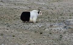 Yak, Lake Namtso, Tibet (1) (Prof. Mortel) Tags: tibet lake namtso yak