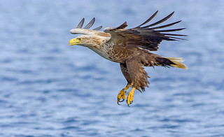 JWL0026  Sea Eagle..