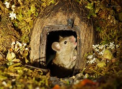 mouse and fly at door (1) (Simon Dell Photography) Tags: house mouse log pile door coconut mossy moss logs wood stack garden wild wildlife cute funny detail close up awesome viral ears eyes george mini mildred sheffield s12 hackenthorpe decorated summer images mice two mouses animals rodents