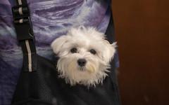 a doggie bag ;-) (Dotsy McCurly) Tags: canoneos80d efs35mmf28macroisstm bunny cute dog maltese bag pocketbook 7dwf fauna