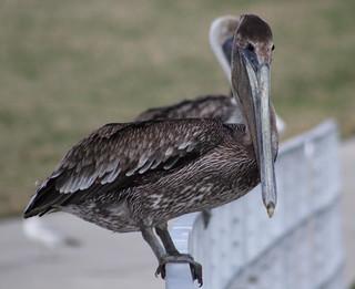 brown pelican (Pelecanus occidentalis (explored)