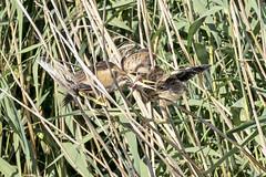 Blongios nain (Ixobrychus minutus) (diego salvadore) Tags: zwergdommel woudaap tarabusino avetorillo común hérons butors ardeidae littlebittern