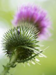 thistle (wundoroo) Tags: nybg newyorkbotanicalgarden newyork bronx summer july micro43 60mmf28lens magenta asteraceae flower thainfamilyforest