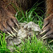 A Grizzly's formidable claws