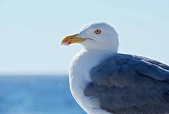 THE SEAGULL (LitterART) Tags: möwe gull seagull bird eyes glance animal birrd vogel fujifilm xseries