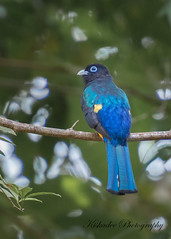 Black-headed Trogon (Birds and Other Cools Stuff!) Tags: belize ruins lamanai trogon blackheadedtrogon tropical bird subtropic blue beautiful colors colorful parrot wildlife birding