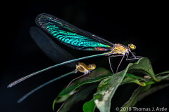 Sleeping Damsels (Tom's Macro and Nature Photographs) Tags: macrophotography insects dragonflies damselflies odonata forest night metallic madagascar