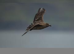 Great Skua 2018-0096 (seandarcy2) Tags: skua birds wildlife mull uk great