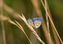 Damaged Beauty (chrisayles78) Tags: commonblue butterfly britishnature butterflies damaged nature naturalworld natural blue insect insectphotography wildlife upclose closeup pentaxk70 pentax pentax55300mm