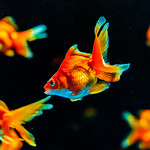 Fantail (goldfish) of Sumida Aquarium in Tokyo Sky Tree Town : リュウキン(琉金、東京スカイツリータウン・すみだ水族館) thumbnail