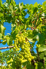 Chardonnay (enneafive) Tags: chardonnay grapes vines closlesramiers sky green sun light plant nature fujifilm xt2 waterfallofgrapes vineyard