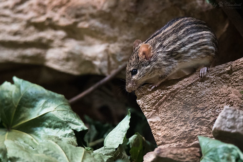 Striped grass mouse on a stone