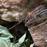 Striped grass mouse on a stone thumbnail