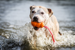 2018-08-06 (1) (annamarias.) Tags: dog pet animal mammal swim swimming lake river pond fun blast hot sun sunny summer cool toy play playing fetch fetching kong water sea pitbull pit bull terrier bulldog staffordshire