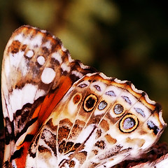 Nature's Beauty (fred.sommer11) Tags: butterfly moth pattern nature insect bug wing wings insects butterflies brown sepia macro close summer