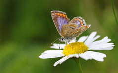 Common Blue Butterfly (1V4A4318) (shelleyK2) Tags: butterfly flower chamomile nature macro tamron isleofman commonbluebutterfly fortisland canoneos7dmarkii wildlife outdoor springwatch
