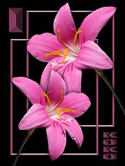 2 zephyrs (Koko Nut, it's all about the frame) Tags: zephyrlily zephyranthes fairyflower fairylily pink frame framedflower double duet duo two black beauty bloom koko kokonut wonder