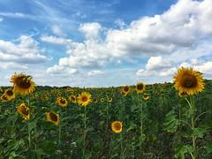 Stop auf der Seerunde (dirklie65) Tags: agriculture field feld germany mvp mecklenburgvorpommern summer sunflowers sommer wolken clouds sky himmel sonnenblumen neubrandenburg tollensesee