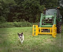 Nothing Runs Like a Deere? (mgstanton) Tags: heard diego dog summer deere nothingrunslikeadeere heardfarmconservation tractor wayland