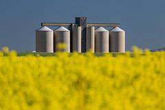 IMG_2639 (francois f swanepoel) Tags: canola corn grain landscapes moorreesburg riebeekwes scenics silos vessels westerncape rapeseed