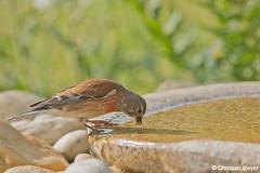 2018.05.24 - 1959 - Linotte mélodieuse Bois Bas © (chmeyer51) Tags: oiseau linottemélodieuse fringillidae cardueliscannabina