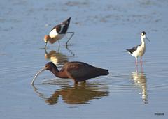 White-faced Ibis, American Avocet, Black-necked Stilt (miketabak) Tags: