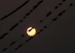 PIGEONS AT THE SUNSET (Lisa Plymell) Tags: lisaplymell nikon coolpixp900 bird sunset pigeons silhouettes