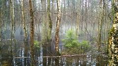 Fog Bog (AudioClassic) Tags: fog bog water spring tree landscape estonia nature flora plant outdoors nopeople greencolor reflections misty marsh