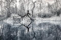 Spooky tree reflection (Jochem.Herremans) Tags: spooky reflection nature blackandwhite branches white naturelove belgium antwerp flanders
