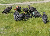 NOW SERVING #89 (akahawkeyefan) Tags: vultures carrion californiacondors davemeyer calf brutal
