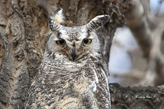 Great Horned Owl (Canon Queen Rocks (2,082,000 + views)) Tags: birds beak trees tree bark owls owl raptors wildlife wild wings nature eyes yellows ears feathers canada momentsbycelinecom