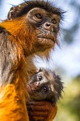 IMG_5396 (garrygeezer) Tags: redcolobus monkey primate nature wildlife garrychisholm canon gambia africa