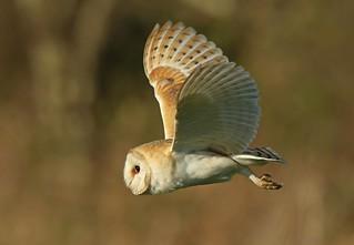 Barn owl ~ Tyto alba