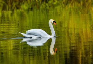 Swan at Bosherston Lily Ponds.