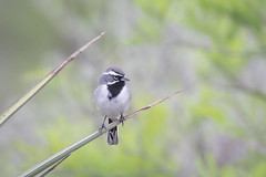 Formal Attire (gseloff) Tags: blackthroatedsparrow bird perch yucca wildlife nature animal thenatureconservancy dolanfallspreserve valverdecounty texas gseloff