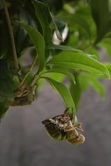 180720014 (murbozero) Tags: murbo japan cicada