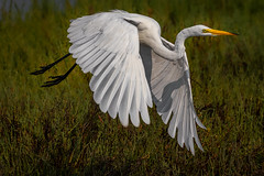 Great egret take-off (bodro) Tags: bif bolsachica bird birdinflight birdphotography ecologicalreserve featherdetails greategret liftoff shallows takeoff wetlands wingsdown