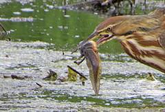 Tadpole Lunch (shesnuckinfuts) Tags: americanbittern botauruslentiginosus kentwa shesnuckinfuts june2018 nature wadingbird widlife tadpole bullfrog dinner