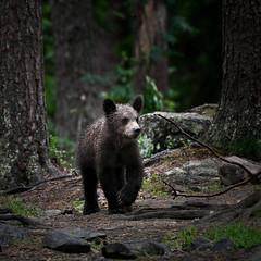 King Cub (Spectacle Photography) Tags: bear bearphotography bearcubs bearcub summer summertime brownbear grizzly grizzlybear ursusarctos ursusarctosarctos finland europe wildlife wildlifewatching hidephotography nikon nikond850