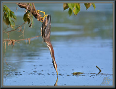 Elassssssticity (WanaM3) Tags: wanam3 nikon d7100 nikond7100 texas pasadena clearlakecity horsepenbayou bayou outdoors nature wildlife canoeing paddling animal bird heron greenie greenheron butoridesvirescens