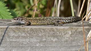 Common Lizard (image 1 of 2)