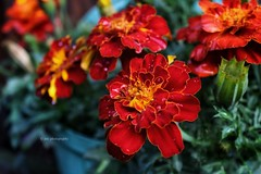 Marigolds :) (John Campbell 2016) Tags: marigolds marigoldmacro macro macrophotography macroflower red yellow green floral flowerphotography flower flowernotaweed canon1300d canoncamera canon camera closeup colourful colourfulflowers can