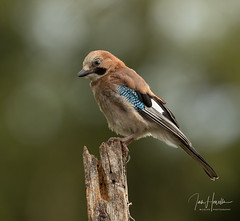 Eurasian Jay (Ian howells wildlife photography) Tags: jay ianhowells ianhowellswildlifephotography nature naturephotography canon canonuk wildlife wildlifephotography wales wild wildbird wildbirds