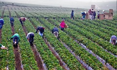 July28Image1057 (Michael T. Morales) Tags: strawberryharvest salinasvalley farmworkers harvesters stooplabor rowcrop fog montereycounty agriculture
