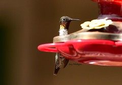 Hummingbird_1503c (Porch Dog) Tags: 2018 garywhittington kentucky nikond750 nikkor200500mm wildlife nature outdoors bird avian feathers