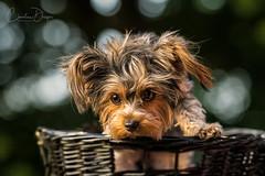 Pearl (Christina Draper) Tags: green dog hunde hound photography dogphotography petphotography terrier yorkie