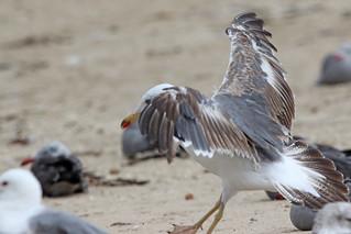 Lesser Black-backed Gull, Second Summer 6/8