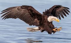Talons Ready! (Andy Morffew) Tags: baldeagle eagle talons fishing kachemakbay alaska andymorffew morffew inexplore explored