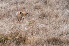 Coyote #113 (lennycarl08) Tags: coyote animalplanet animals wildlife animal pointreyesnationalseashore pointreyes northerncalifornia marincounty